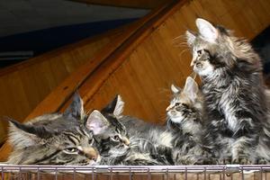 Sådan fjerner tørre kat opkast pletter