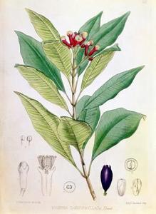 Sådan Plant & Grow Eugenia Hedge Plant