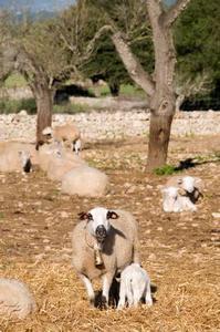 Forskellen mellem lam skanken & svinekød skanken