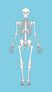 Hvordan man laver en human Skeleton Model