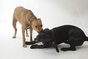 Hvad kunne forårsage hurtig vægttab hos hunde?
