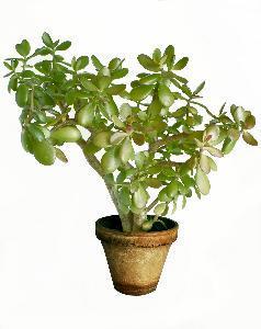 Jade Planter og brune pletter