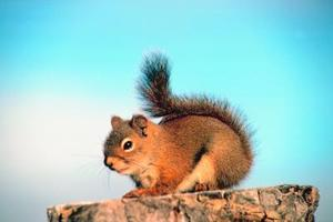 Sådan Catch a Red Squirrel