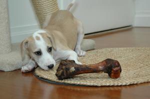 Symptomer og behandling for Runde Worms i en hund