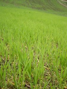 Hjemmelavet Chia Pet Grass Seed
