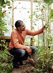 Køb af humlebier for Greenhouse Bestøvning