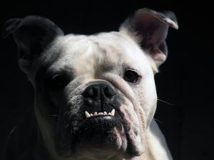 Hvordan man får en hunds tænder hvide, hvis de er grønne