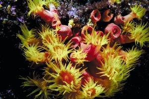 Sådan Care for koraller