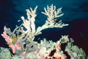 Sådan Paint Coral