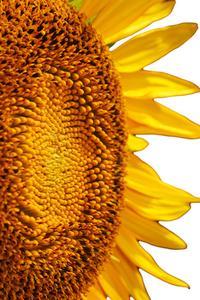 Aktivitet til plantning solsikkefrø