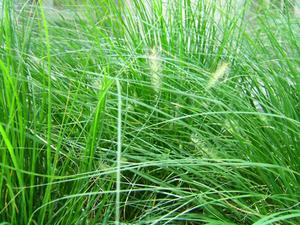 Om Wild Grass i Lawn