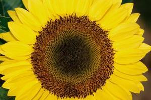 Den største Sunflower Seeds