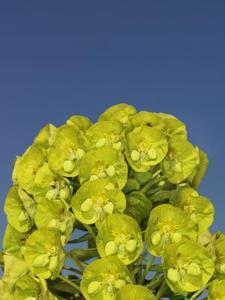 Sådan Care for Euphorbia characias