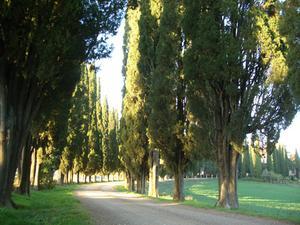 Sådan Trim en Cypress Tree