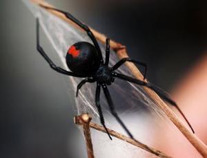 Typer af edderkopper i Tennessee