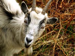 Sådan Raise Pygmy Goats for Mælk