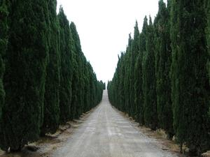 Sådan Trim Leyland cypresser