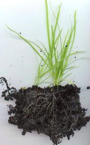 Hvor lang tid tager det Grass Seed at begynde at vokse?