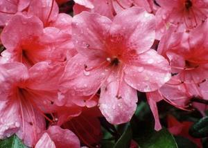 Sådan beskære en lyserød flæse azalea