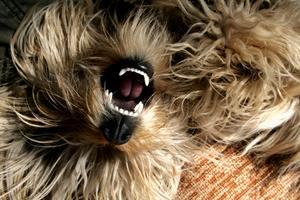 Hvorfor min hunds tænder snak?