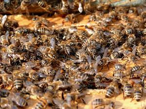 Sådan installeres en pakke af bier i et nyt bistade