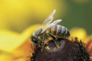 Blomsterfrø til bier