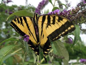 Hvad man skal plante en Butterfly Garden