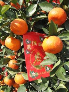 Hvordan man dyrker en Mandarin Orange Tree i en pot