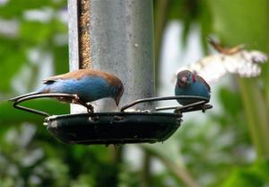 Hvordan man kan stoppe fugle fra hakke på vinduer
