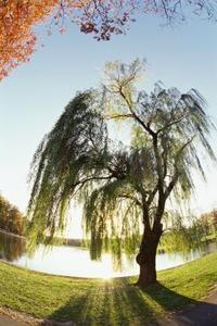 Root Strukturen i en Willow Tree