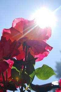 Hvor dybt skal jeg plante mine rosenbuske?