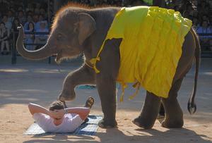 Elefant Ridning Ferie