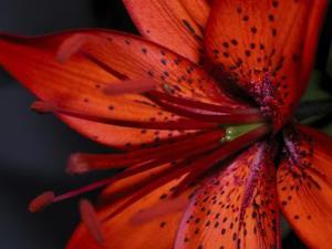 Hvornår skal Skær et Tiger Lily Flower blade ned?