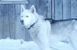 Hvordan kan jeg stoppe min Siberian Husky Fra Crying & Howling om natten?
