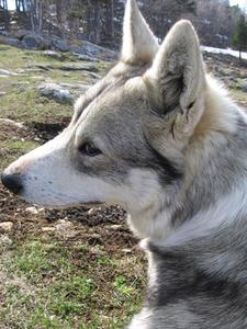 Geriatric vestibulære syndrom hos hunde