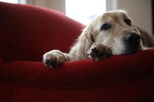 Tegn og symptomer på slutstadiet hunde kongestiv hjerteinsufficiens