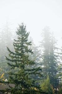 Hvor langt fra hinanden skal jeg Plant stedsegrønne træer?
