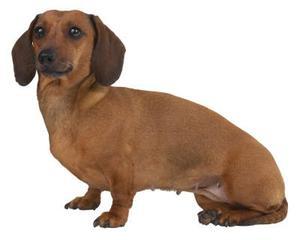 Standard Vs.  Miniature Gravhund