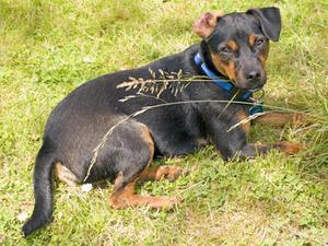 Hvorfor spiser hunde græs, når de er syge?