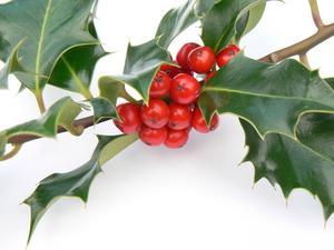 Hvad er meningen med Holly Planter til jul?