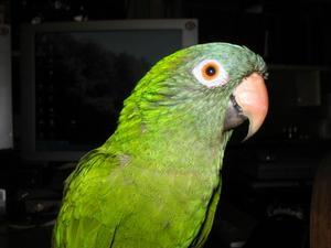 Grøn kind conure kost