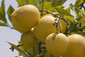 Hvordan kan jeg Care for Eureka Lemon Trees?