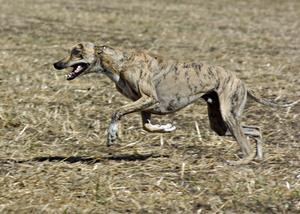 Kost til epileptiske hunde
