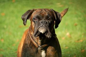 Boxer hunde & hjerteproblemer