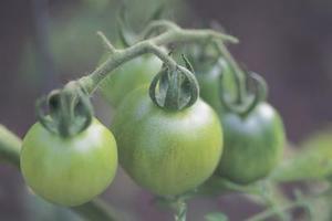 Sådan tvinges Tomater at modnes
