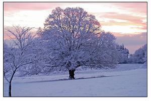 Hvad er forskellen mellem en rød ahorn & en fest ahorn træ?