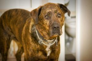 Hundetræning for aggressive hunde Brug Pinch Halsbånd