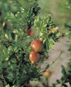 Hvordan man dyrker en Miniature Pomegranate Tree
