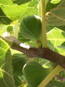 Det symbiotiske forhold mellem den Fig Tree & Amazonas Fruit Bat