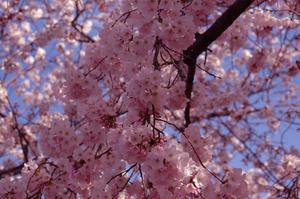 Hvornår skal Prune en ornamental Cherry Tree